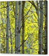 Autumn Through The Trees Acrylic Print