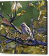 Autumn Waxwing 2 Acrylic Print