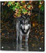 Autumn Wolf Acrylic Print