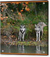 Autumn Wolf Study  Acrylic Print