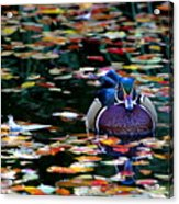 Autumn Wood Duck Acrylic Print