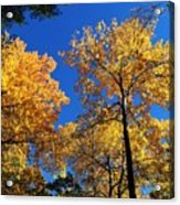 Autumn Yellow Foliage On Tall Trees Against A Blue Sky In Palermo Acrylic Print