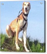 Ava-grace, Princess Of Arabia  #saluki Acrylic Print by John Edwards