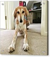 Ava On Her First Birthday #saluki Acrylic Print