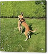 Ava The Saluki And Finly The Lurcher Acrylic Print