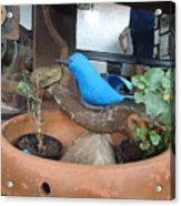 Ave Azul Em Cima De Uma Jarro De Barro Acrylic Print