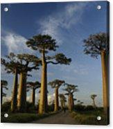 Avenue Des Baobabs Acrylic Print