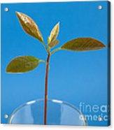 Avocado Seedling Acrylic Print