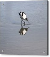 Avocet And Reflection Acrylic Print