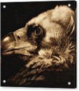 Avvoltoio Acrylic Print