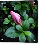 Awakening - Flower Bud In The Rain Acrylic Print