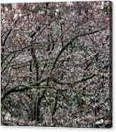 Awash In Cherry Blossoms Acrylic Print
