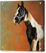 Awesome Gypsy Horse Acrylic Print