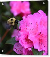 Azalea And Mr. Bumbles 05 Acrylic Print