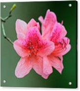 Azalea Blooms On A Green Background Acrylic Print