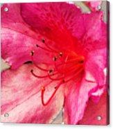 Azalea Blossom Acrylic Print by Jinx Farmer