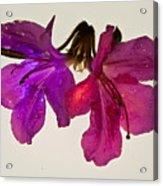Azalea Doublet Acrylic Print