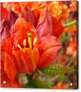 Azalea Flowers Art Prints Azaleas Gilcee Art Prints Baslee Troutman Acrylic Print