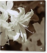 Azalea Flowers In Sepia Brown Acrylic Print