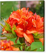 Azaleas Art Home Decor 14 Orange Azalea Flowers Art Prints Greeting Cards Acrylic Print