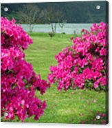Azaleas At The Azores Acrylic Print