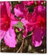 Azaleas In Magenta Acrylic Print