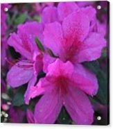 Azaleas In Springtime Acrylic Print