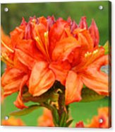 Azaleas Orange Red Azalea Flowers 11 Botanical Giclee Art Baslee Troutman Acrylic Print