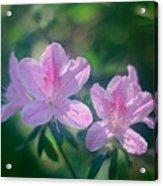 Azaleas Acrylic Print