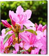 Azaleas Pink Azalea Flowers Artwork 12 Landscape Art Prints Acrylic Print