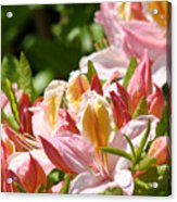 Azaleas Pink Orange Yellow Azalea Flowers 6 Summer Flowers Art Prints Baslee Troutman Acrylic Print