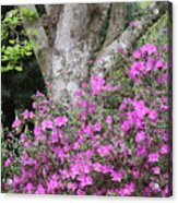 Azaleas With Tree Acrylic Print