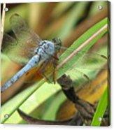 Azure Dragonfly 1 Acrylic Print