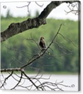 Kejimkujik National Park - Bird Acrylic Print