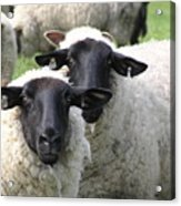 Baa Friends Acrylic Print