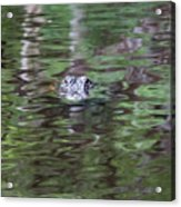 Babcock Wilderness Ranch - Alligator Lake - Heads Up Acrylic Print