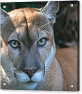 Babcock Wilderness Ranch - Oceola The Panther Pleasantly Peering Acrylic Print