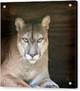 Babcock Wilderness Ranch - Portrait Of Oceola The Panther Acrylic Print