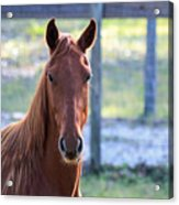 Babcock Wilderness Ranch - Red Horse Portait Acrylic Print