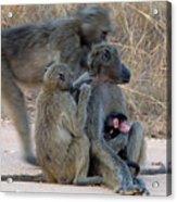 Baboon Family Acrylic Print