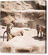 Baboons Monkeys Having Sex Acrylic Print