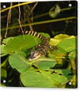 Baby Alligator Acrylic Print