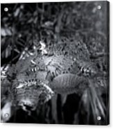Baby Alligators On Board Acrylic Print
