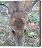 Baby Backyard Button Buck Acrylic Print