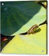 Baby Baja Tree Frog Emerges From Lotus Leaf Acrylic Print