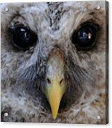 Baby Barred Owl 3 Acrylic Print