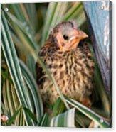 Baby Bird Hiding In Grass Acrylic Print by Douglas Barnett