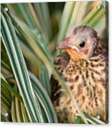 Baby Bird Peering Out Acrylic Print