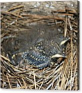 Baby Birds Acrylic Print