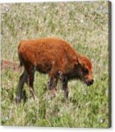 Baby Bison Acrylic Print